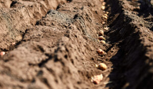 potato-field-1-scaled.jpg
